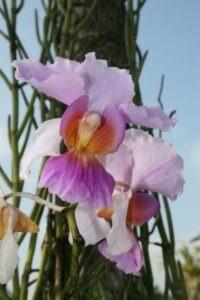 Bali orchidées