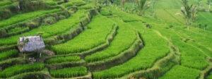 rizières en terrasses Bali voyage aventure trek