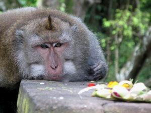 Découvrz la forêt des singes avec Lune de Miel Bali