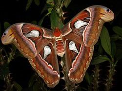 Découvrez le plus grand papillon nocturne avec Lune de Miel Bali