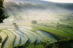 rizières en terrasses du pays Aga à Bali