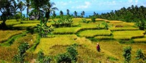 dajuma-tours-rice-fields-medewi