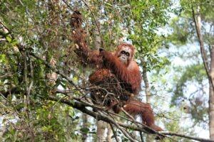 Les orangs-outans avec Lune de Miel Bali