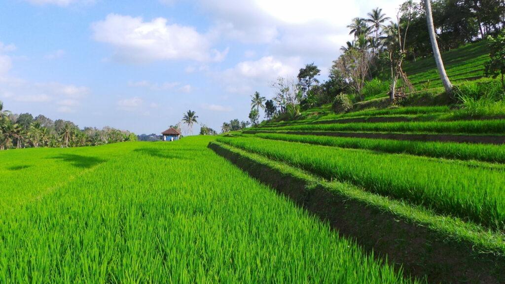 rizières,Bali