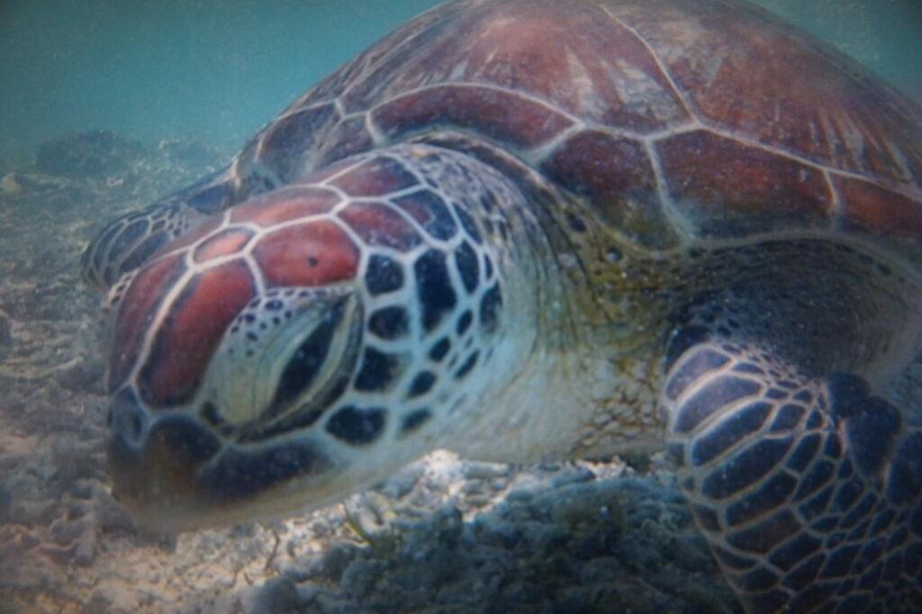 tortue, Gili, Indonésie