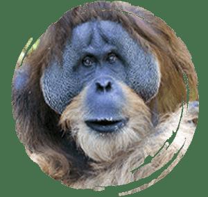tête d'orang outan mâle