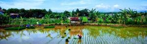 paysage de campagne à Sulawesi
