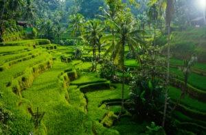 rizières en terrasses