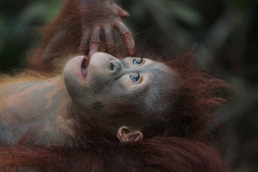 borneo, orang-outan