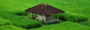 gazebo au milieu des rizières
